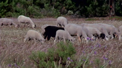 Sheep grazing #3 Stock Footage