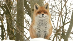 Close up red fox (Vulpes vulpes) in the snow. Stock Footage