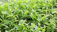 Bushes tea plantation close up. Cameron Highlands, Malaysia. Stock Footage