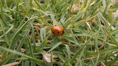 Ladybug (Coccinellidae) walking in the grass (1) Stock Footage