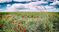 Poppies and cornflowers Stock Footage