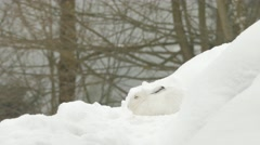 Mountain hare (Lepus timidus) in the snow - stock footage