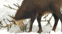 Chamois feeding in a fallen spruce. Stock Footage