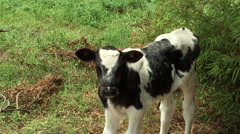 Calf Poses and Jumps away from Camera on Farm in Peru Stock Footage