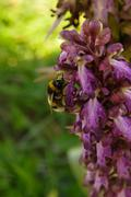 Bumblebee pollinating wild orchid Stock Photos
