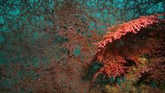 Scuba diver looking closely at gorgonian sea fan on coral reef Stock Footage