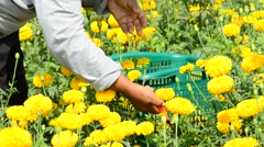 Unidentified worker is picking marigold flowers for sell to flower marget. Stock Footage