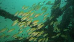 Artificial reef structure underwater alive with shoals of fish - stock footage