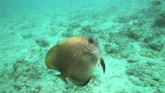 Batfish enjoying being cleaned by small wrasse cleaner fish Stock Footage