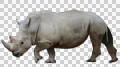 Rhino Walks - stock footage