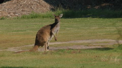 Kangaroo Looking at the Camera Then Continues Eating Grass Stock Footage