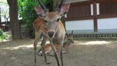 Deer Stands Up And Walks Nara Japan Stock Footage