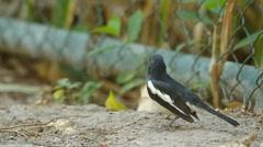 Magpie robin bird on ground Stock Footage