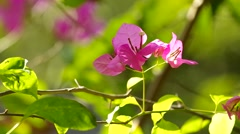 Bougainvillea and wind Stock Footage