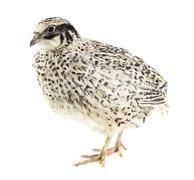 Young quail - stock photo