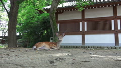 Deer Stands Up Near Japanese Building As Man Walks By Stock Footage