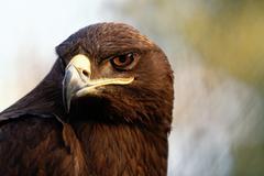 The Steppe Eagle is a bird of prey Stock Photos