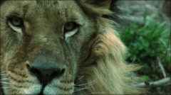 Slow motion with a adult lion Stock Footage