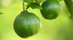Green Tangerines fruit Stock Footage