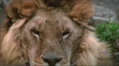 Stock Video Footage of Slow motion with a adult lion