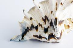 Marine sea shell in a studio setting against a white background Stock Photos