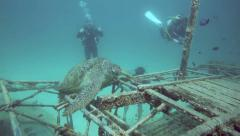 Scuba divers looking at a green sea turtle resting on artificial reef Stock Footage