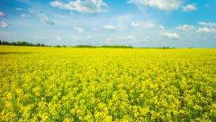 blooming canola on the field, panoramic time-lapse - stock footage