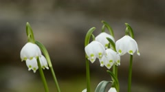 Snowflake, closeup of the spring flower Stock Footage