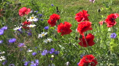 Beautiful poppy and blue cornflower blossoms in summer Stock Footage