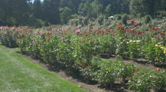 Red and pink roses in the International Rose Test Garden, Portland Stock Footage
