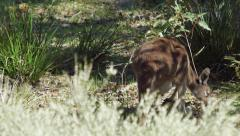 Kangaroo Foraging For Food In Native Bushland Stock Footage