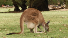 Stock Video Footage of Kangaroo with Joey in it's Pouch Grazing on Grass
