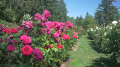 Pink and peach roses at the International Rose Test Garden, Portland Stock Footage