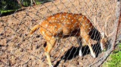 Small Spotted Deer  in the aviary Stock Footage