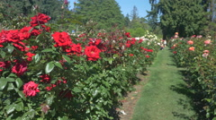 Beautiful red roses at the International Rose Test Garden, Portland Stock Footage