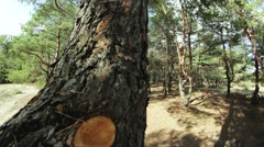 Panorama of  pine forest, movement across the trunk Stock Footage