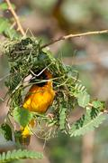Masked Weaver Building Nest - stock photo