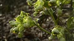 Stock Video Footage of Hellebore, medieval medicinal plant