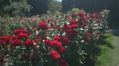 Gorgeous red roses at the International Rose Test Garden, Portland Stock Footage