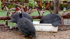 Lanch time of guinea fowls Stock Footage