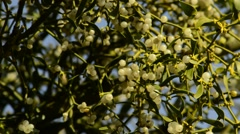 Mistletoe, ripe berries Stock Footage