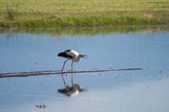 Stock Photo of Hunting Stork