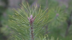 Fir-tree on early spring - stock footage