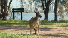 Kangaroo Standing Near a River Stock Footage