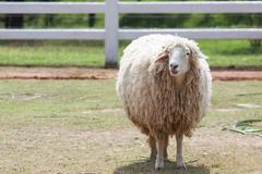 Face of merino sheep in ranch farm use for farm animals and livestock topic Stock Photos