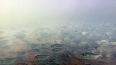 Minnows in Creek - stock footage