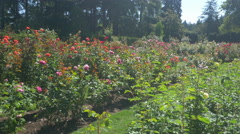 Roses beds at the International Rose Test Garden, Portland Stock Footage