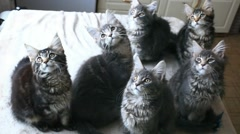 Funny Maine coon cats move their heads back and forth. HD. 1920x1080 Stock Footage