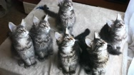 Stock Video Footage of Funny Maine coon cats move their heads back and forth. HD. 1920x1080