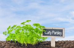 Curly Parsley in the garden with a wooden label - stock photo